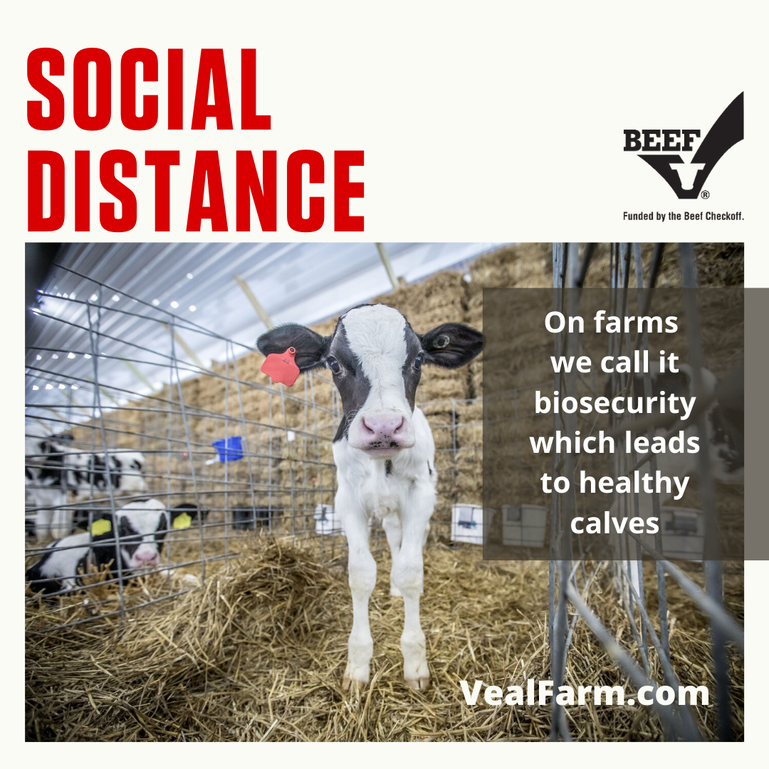 Calf Care: Keeping a Distance for Health, Safety and Immune System Development