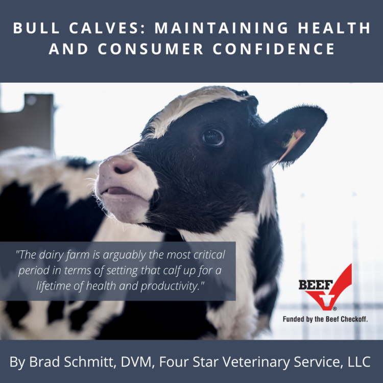 Bull Calves: Maintaining Health and Consumer Confidence